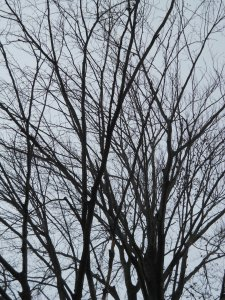 winter trees 017